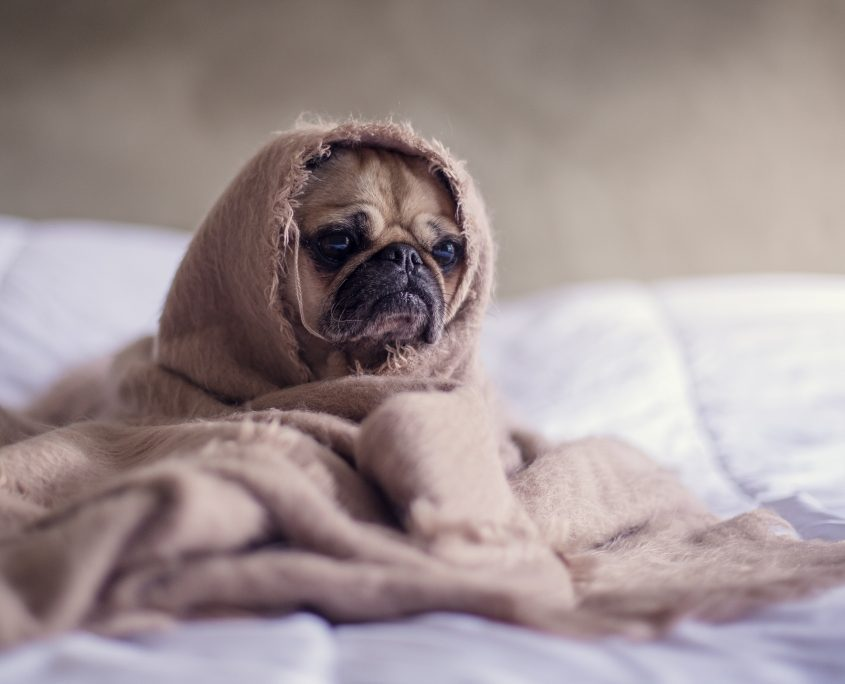 Pug Dog Wrapped Up in A Blanket